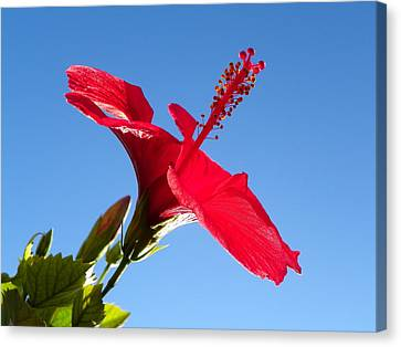 Hibiscus Hope Canvas Print by Noreen HaCohen