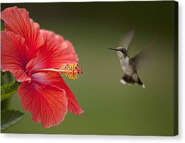 Hibiscus Hummingbird Canvas Print by John Crothers