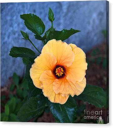 Hibiscus In Fading Light Canvas Print by Vinnie Oakes