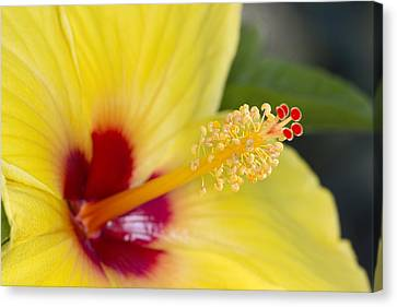 Canvas Print featuring the photograph Hibiscus Macro by Robert Camp