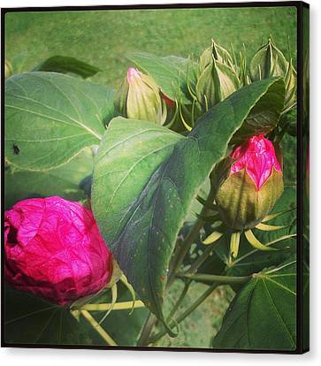 Hibiscus Read To Bloom Canvas Print by Brittany Perez