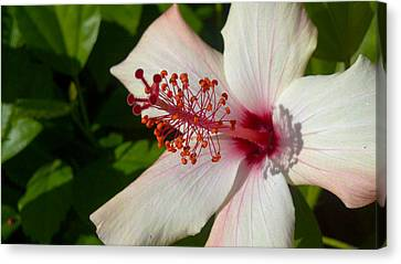 Canvas Print featuring the photograph Hibiscus by Richard Stephen