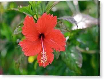 Hibiscus Rosa-sinensis Flower Canvas Print by Adrian Thomas
