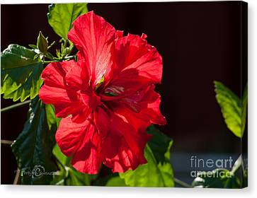 Hibiscus Rosa Sinensis - Pride Of Hankins Double Fuschia Pink Canvas Print
