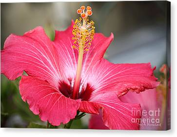 Hibiscus Canvas Print by Todd A Blanchard
