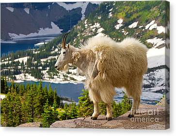 Canvas Print featuring the photograph Hidden Lake Goat by Aaron Whittemore