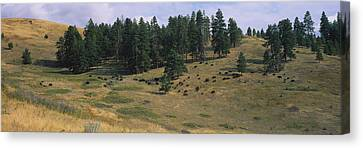 High Angle View Of Bisons Grazing Canvas Print by Panoramic Images