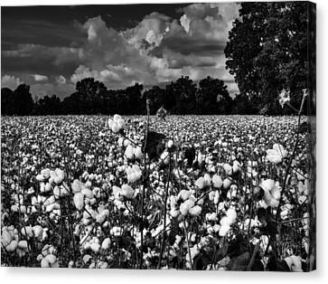 High Cotton 002 Bw Canvas Print by Lance Vaughn