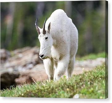 Canvas Print featuring the photograph High Country Mountain Goat by Jack Bell