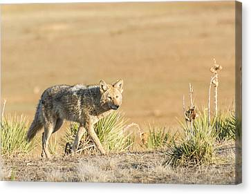 High Plains Coyote At Sunset Canvas Print by Adam Pender