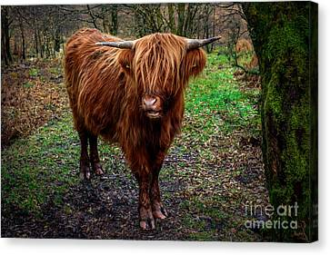 Highland Beast  Canvas Print by Adrian Evans