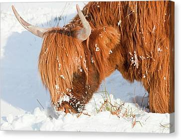 Highland Cattle Grazing Canvas Print by Ashley Cooper