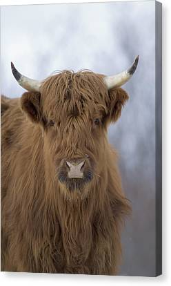 Highland Cattle Kodiak Island Alaska Canvas Print