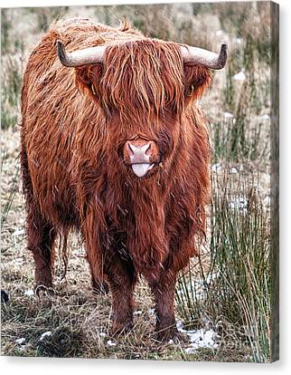 Highland Coo With Tongue Out Canvas Print