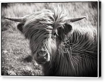 Highland Cow In The Outer Hebrides Of Scotland Canvas Print by Adele Buttolph
