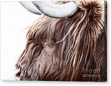 Cow Canvas Print - Highland Cow Color by John Farnan