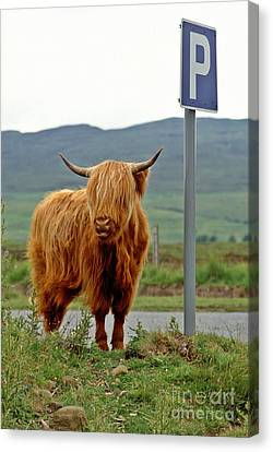 Highland Cow Canvas Print by David Davies
