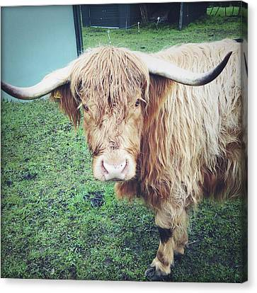 Highland Cow Canvas Print by Les Cunliffe