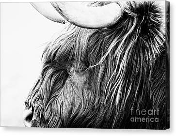 Cow Canvas Print - Highland Cow Mono by John Farnan