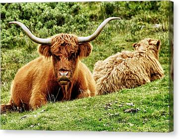 Canvas Print featuring the photograph Highland Cows by Jason Politte