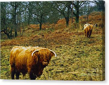 Canvas Print featuring the photograph Highland Cows Landscape by Cassandra Buckley