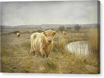 Canvas Print featuring the photograph Highland Moo's by Roy  McPeak