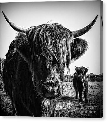 Cow Canvas Print - Highlander 1 by Janet Burdon