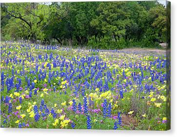 Hill Country, Texas, Bluebonnets Canvas Print by Alice Garland