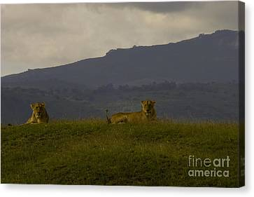 Canvas Print featuring the photograph Hillside Lions by J L Woody Wooden