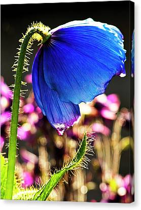 Himalayan Blue Poppy Canvas Print by Ian Gowland