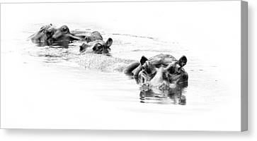 Three Hippo Bulls In River  Canvas Print