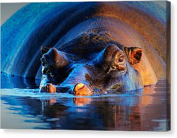 Hippopotamus  At Sunset Canvas Print by Johan Swanepoel