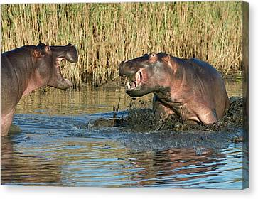 Hippopotamus Confrontation Canvas Print by Tony Camacho