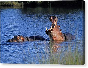 Canvas Print featuring the photograph Hippos by Dennis Cox WorldViews