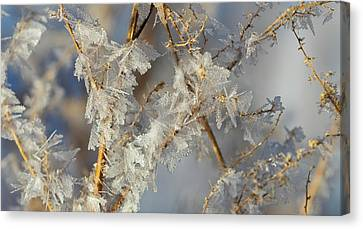 Hoar Frost On Branches  Alberta, Canada Canvas Print