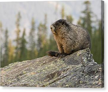 Canvas Print featuring the photograph Hoary Marmot by Chris Scroggins