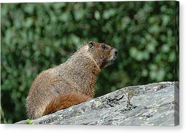 Canvas Print featuring the photograph Hoary Marmot by Paul Miller