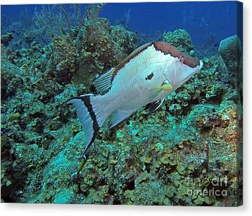 Hogfish On Reef Canvas Print by Carey Chen
