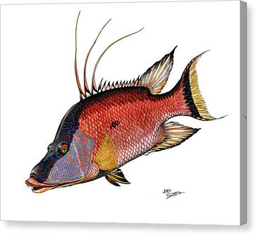 Hogfish On White Canvas Print