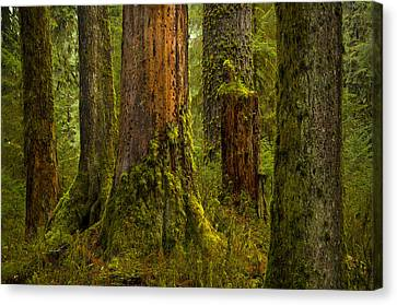 Hoh Rainforest 1 Canvas Print by Joe Doherty