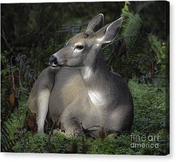 Hoh River Doe Canvas Print by Tim Moore