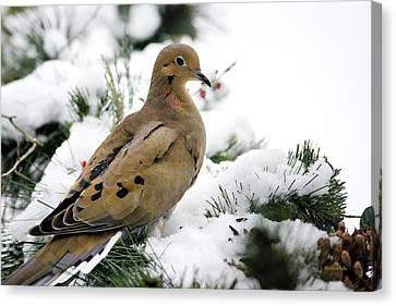 Holiday Dove Canvas Print by Christina Rollo