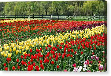 Fence Row Canvas Print - Holland Tulip Fields by Michael Peychich