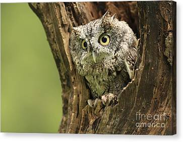 Hollow Screech- Eastern Screech Owl Canvas Print by Inspired Nature Photography Fine Art Photography