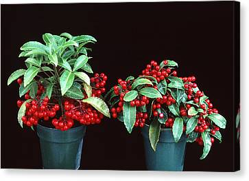 Holly Berry Still Life Canvas Print - Holly by Unknown