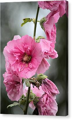 Hollyhock Canvas Print by Bonfire Photography