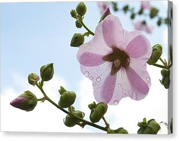 Hollyhock With Raindrops Canvas Print by Lana Enderle