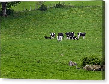 Holsteins Canvas Print