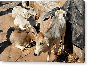 Holy Cows Odisha India Canvas Print by Diane Lent