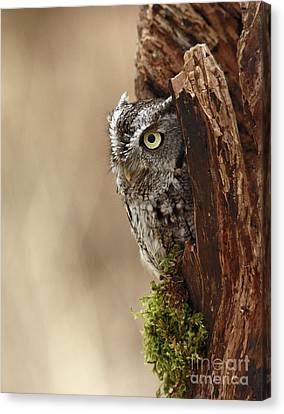 Shelley Myke Canvas Print - Home Sweet Home - Eastern Screech Owl In A Hollow Tree by Inspired Nature Photography Fine Art Photography